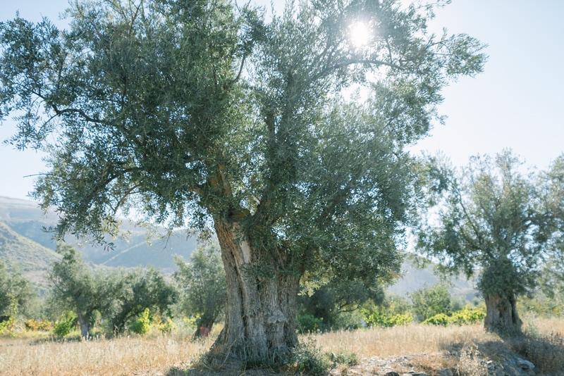 olive grove Granada