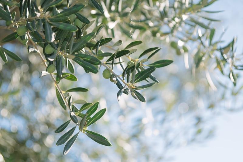 olive oil tasting Spain